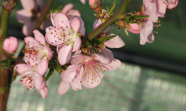 Ice peach blossoms