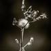 Dandelion by fragglerocks