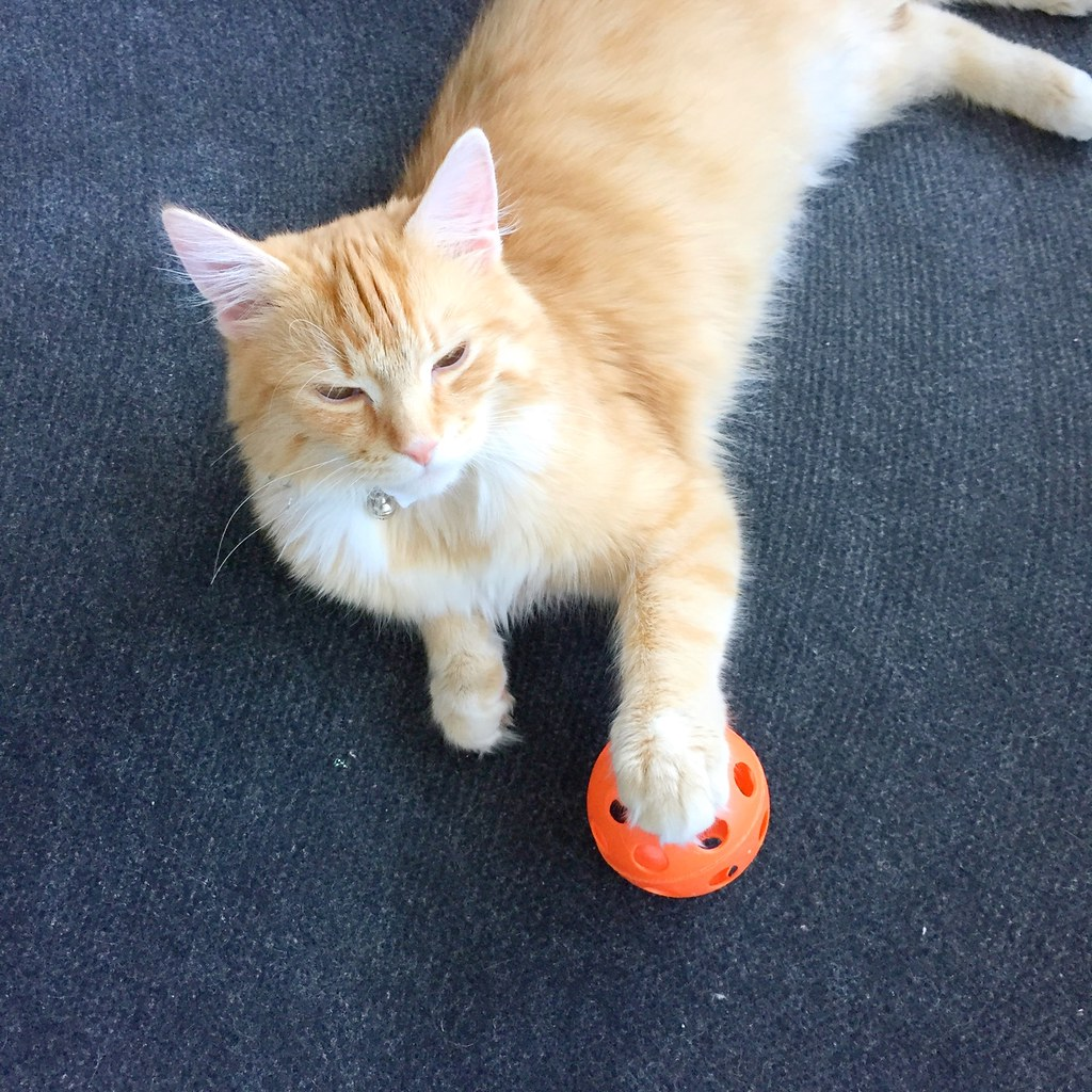 Sintra The Cat loves playing football with his paws