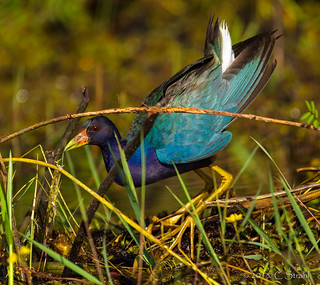 PurpleGallinule-CrookedTree