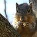 Squirrel, Cantigny Park. 29 (EOS) by Mega-Magpie