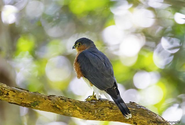 Sharp-shinned Hawk-Gavilan de Sierra de Puerto Rico-Accipiter striatus venator-Puerto Rican subspecies