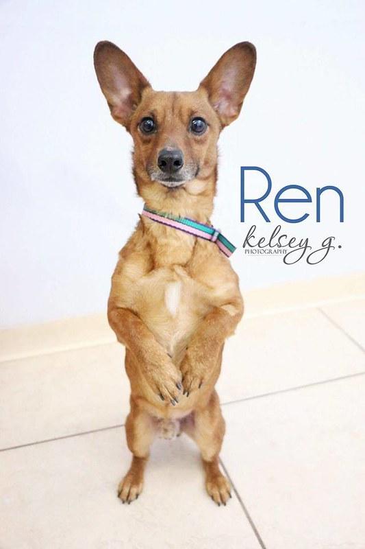 Shelter Sunday Meet Ren Corgi Chihuahua Mix And Miss
