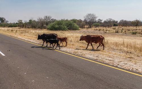 na domesticanimals namibia drivebyshootings caprivi