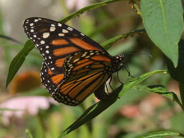 Monarch Butterfly (Danaus plexippus) ovipositing on a garden milkweed