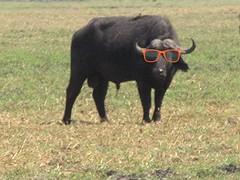 cattle-like mammal, animal, water buffalo, bull, mammal, fauna, cattle, pasture, grassland, wildlife,
