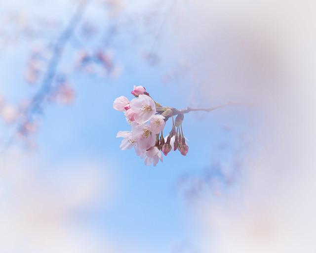 Sakura effetto - layer