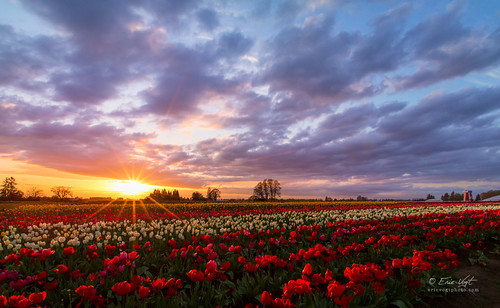 sunset flower color oregon spring colorful tulips woodburn woodenshoetulipfarm woodenshoetulipfestival