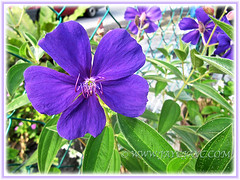 Tibouchina urvilleana (Princess Flower, Glory Bush, Purple Glory Tree), July 8 2014