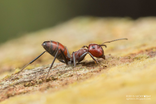 Ant (Formicidae) - DSC_4905