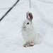 Snowshoe hare in snow by DeaShoot