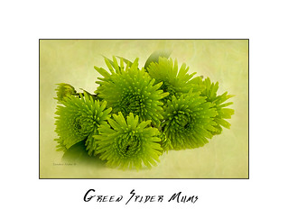 Green Spider Chrysanthemums