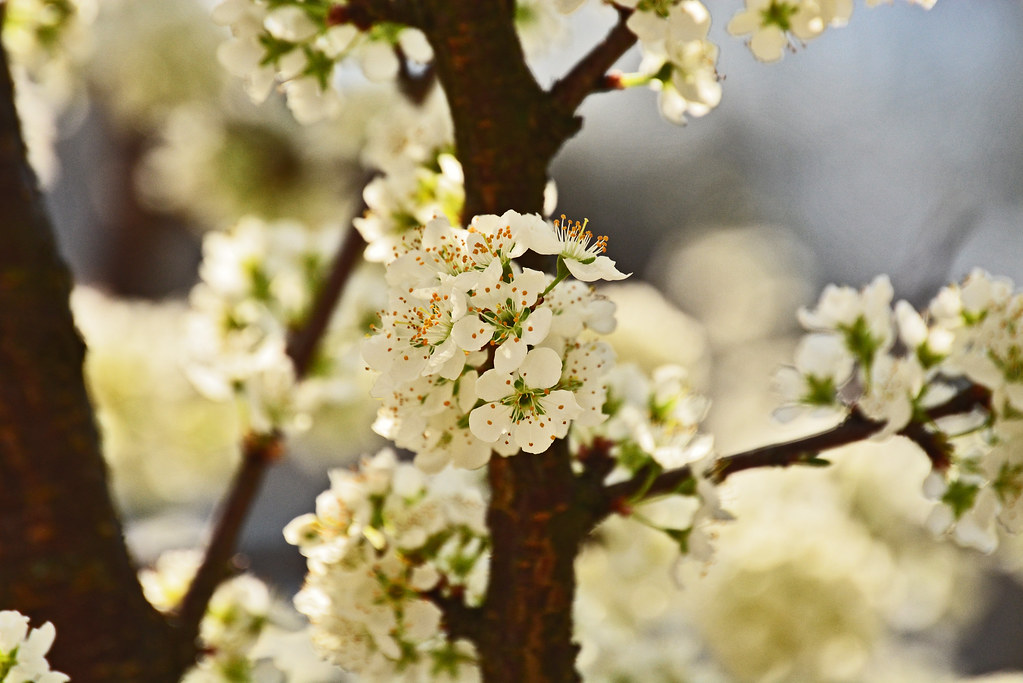 flowers, plum tree, georgia