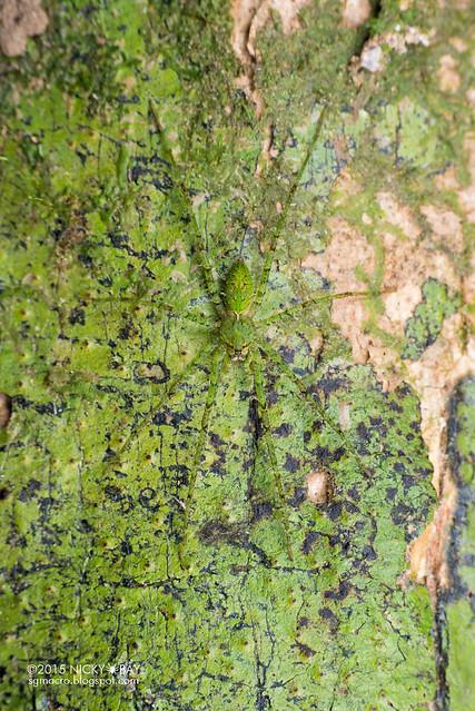 Lichen wandering spider (Acantheis sp.?) - DSC_5127