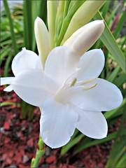 White watsonia