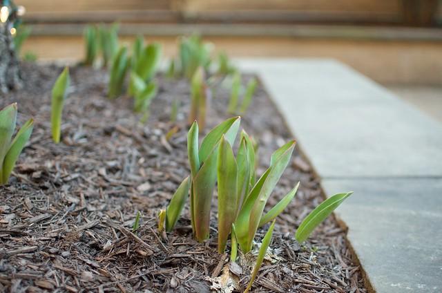 future tulips