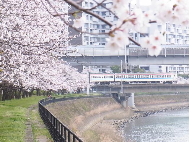 本川の桜並木