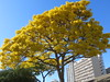 Gold tree (Tabebuia aurea) against blue sky