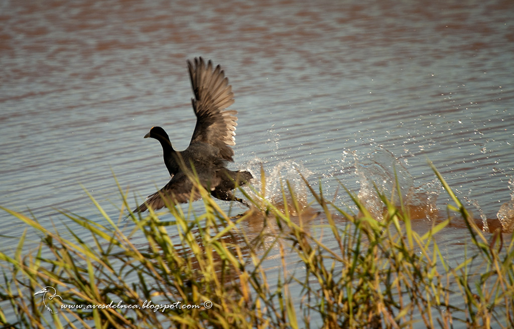 Gallareta chica (White winged coot)