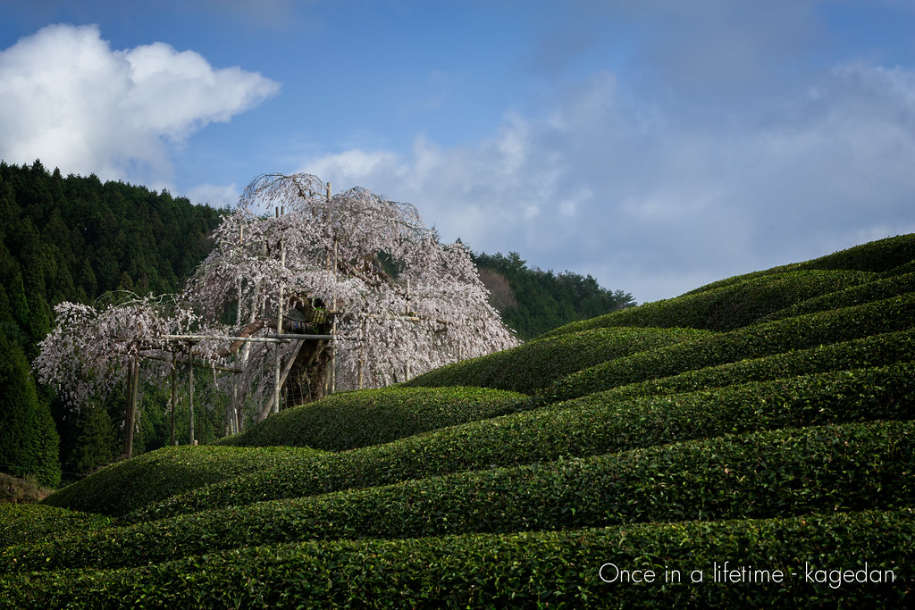 茶畑の一本桜