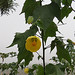 Small photo of Abutilon pictum