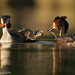 Hungry Grebes by Alastair Marsh Photography
