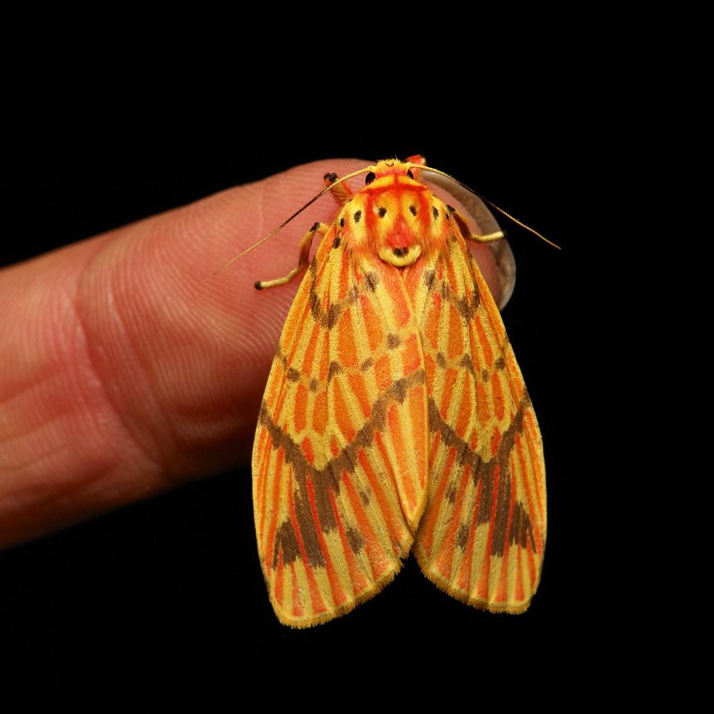 Footman Moth (Barsine cf. striata, Lithosiini, Arctiinae, Erebidae)