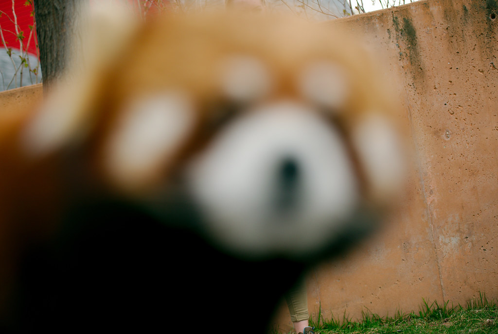Red Panda-A_138