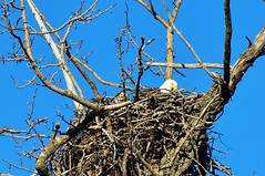 Bald Eagles on Nest-Wasilla Ak