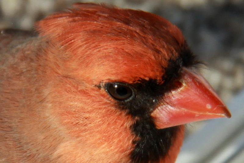 cardinal (7)