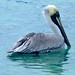 Brown Pelican (Janice Beck)