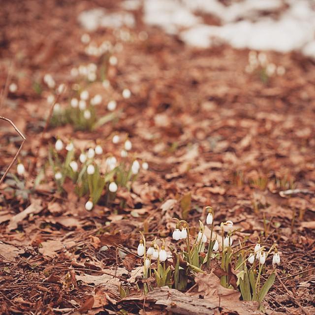 Подснежники2 #АптекарскийОгород #flower #spring #hortus_ru
