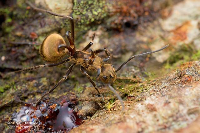 Fish hook ant (Polyrhachis ypsilon) - DSC_3481