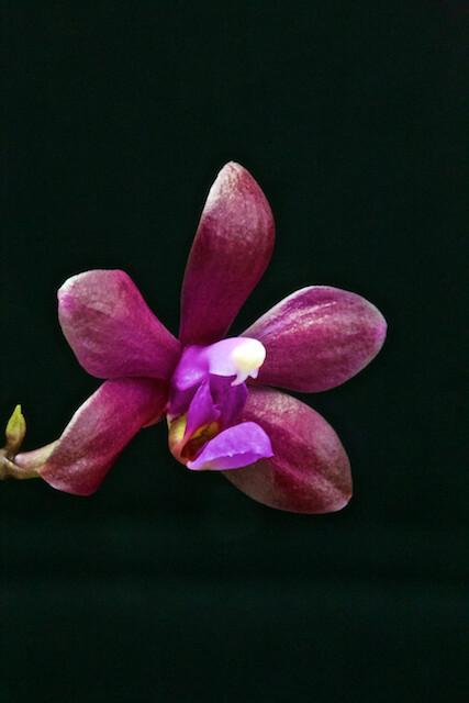 Phalaenopsis braceana x bastianii 16686802057_2e41da355d_z