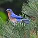 Merlebleu de l'est/Eastern bluebird-Morgan Arboretum,QC