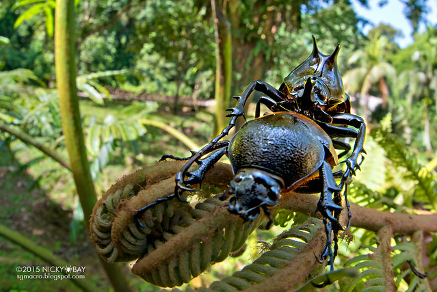 Rhino beetles mating (Dynastinae) - DSC_5521