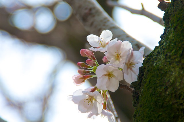 篠崎公園の桜