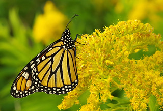 monarch yellow flower