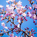Cherry blossom (さくら)