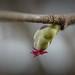 OK's Pics hat ein Foto gepostet:Wer hät's gewusst?Die Haselnuss hat männliche und weibliche Blüten, hier eine der farbenfroh pinken weiblichen Blüten.