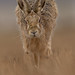 Brown Hare - Head on by crittersnapper
