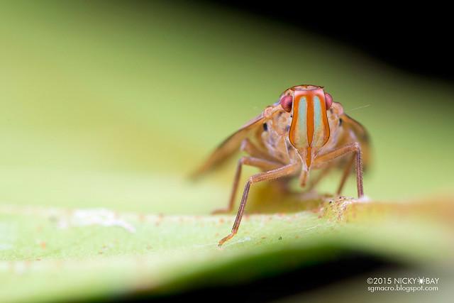 Planthopper (Tropiduchidae) - DSC_4602