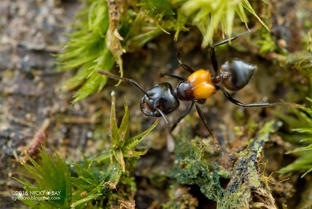Ant (Crematogaster inflata) - DSC_4953