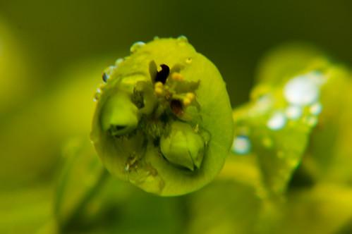 Spurge flowers, Bantock Park