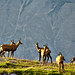 Small photo of A herd of chamois