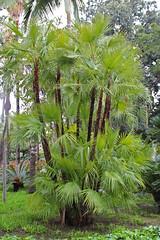 Arecaceae