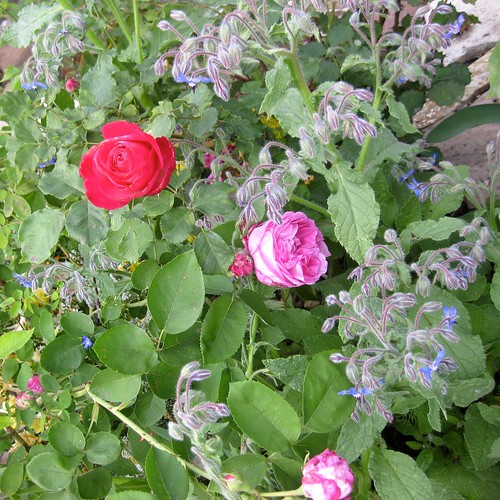 American Beauty, La Reine Victoria, and borage