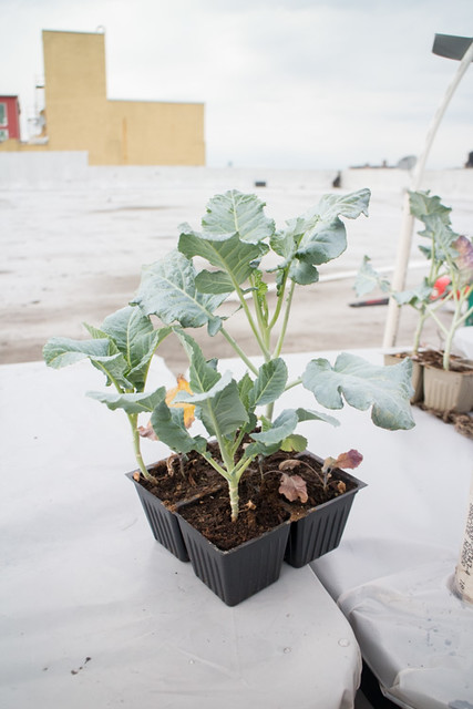 First Planting of the Year 2015 Broccoli_6