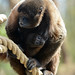 Brown Woolly Monkey & Young by Truus & Zoo