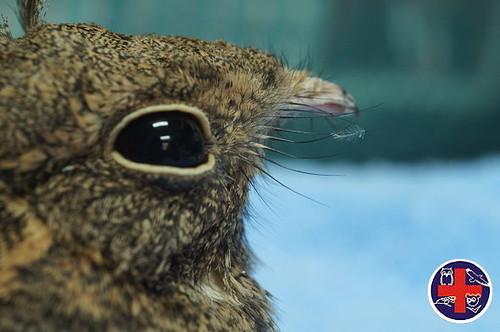 嘴喙基部的剛毛是夜鷹張嘴捕食昆蟲時的「捕蟲網」。圖片來源:野生動物急救站